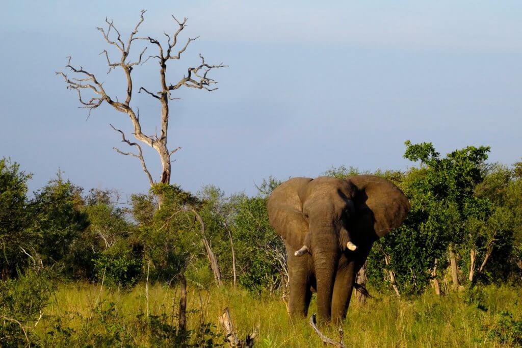 Einer von mehr als 100.000 Elefanten in Botswana