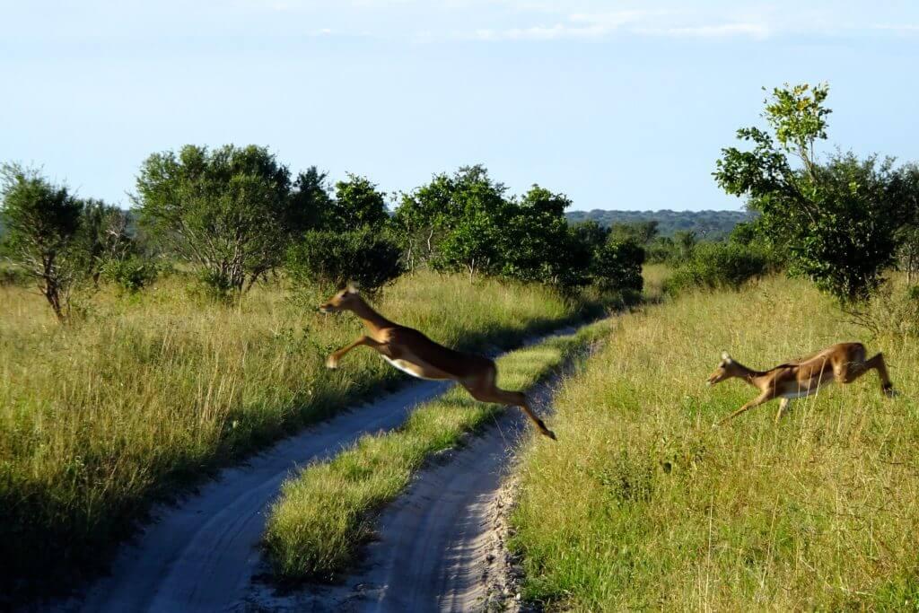 Antilopen