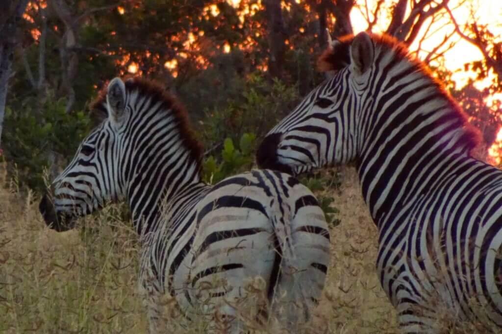 Zebras beim Sonnenuntergang