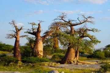 Baobaba Kubu Island Botswana