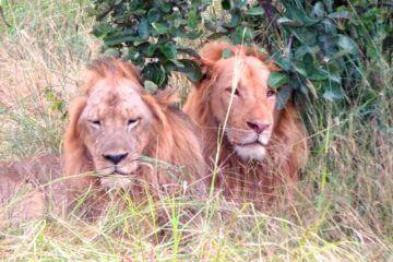 Sambia Reisetipps: Löwen im South Luangwa Nationalpark