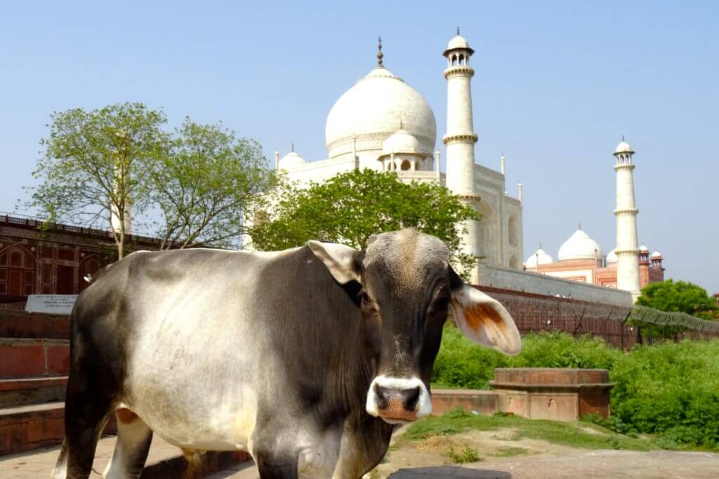 Heilige Kuh vor dem Taj Mahal