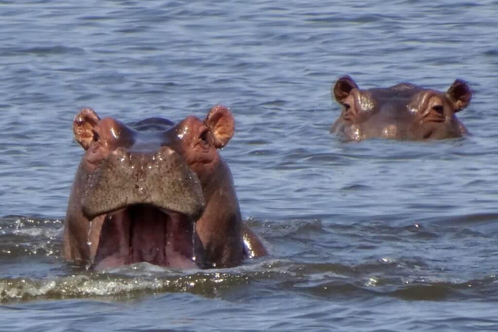 Flusspferde im Okavango-Delta