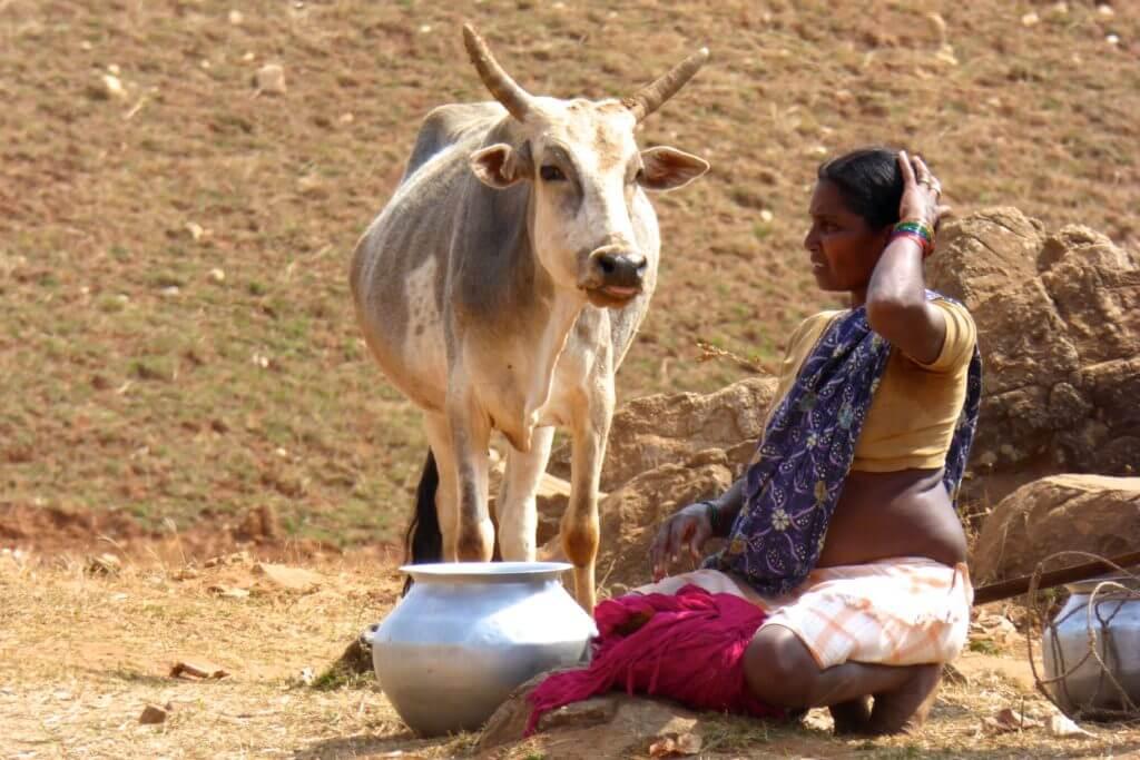 Indien Kultur und Klischee, heilige Kuh im Bundesstaat Chhattisgarh