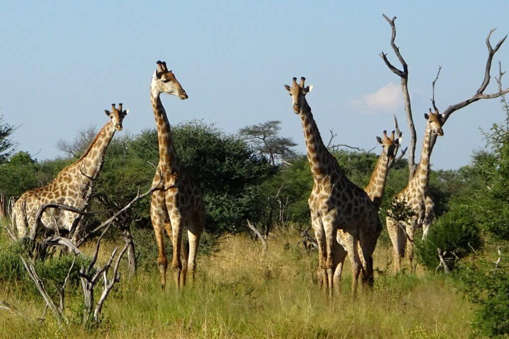 Jahresrückblick Reiseblog Groovy Planet, Giraffen in der Nähe des Safari-Camps Elephant Sands, Botswana