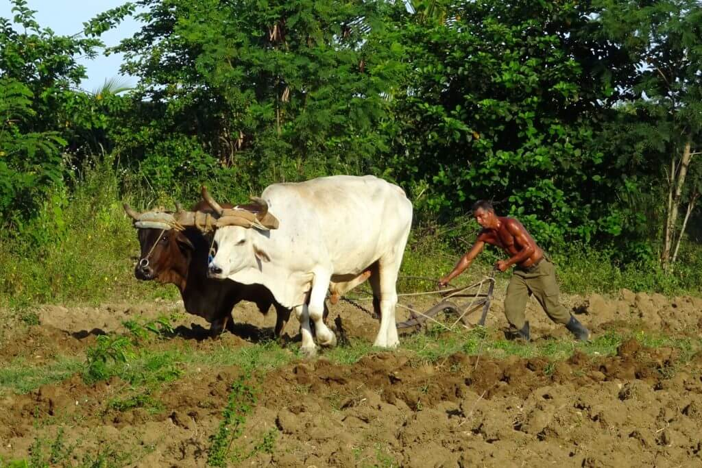 Ackerbau im Osten Kubas. Ochsengespann in der Nähe von Guantánamo