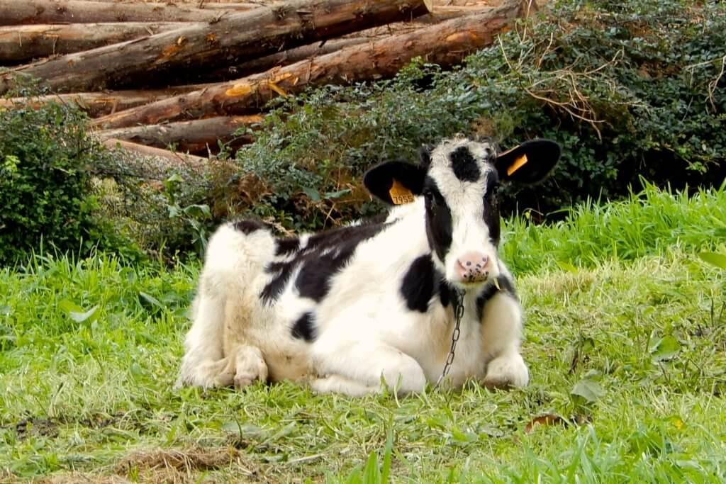 Wanderung nach Sete Cidades. Kuh am Wegesrand.