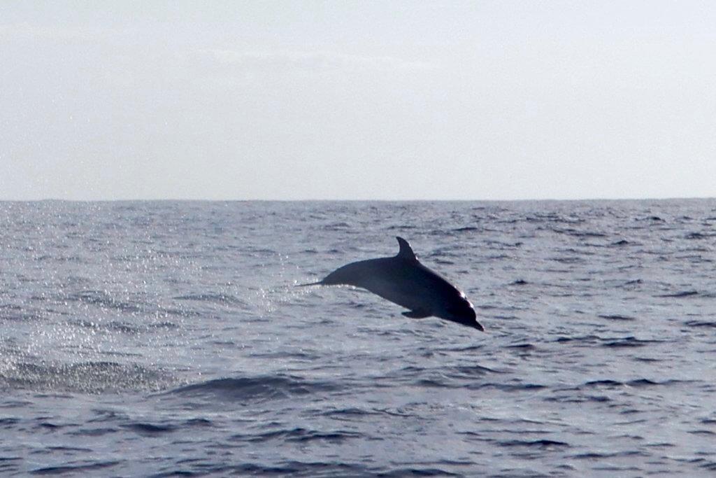 Whale Watching vor der Küste der Azoren-Insel São Miguel. Aus dem Wasser springender Delfin.