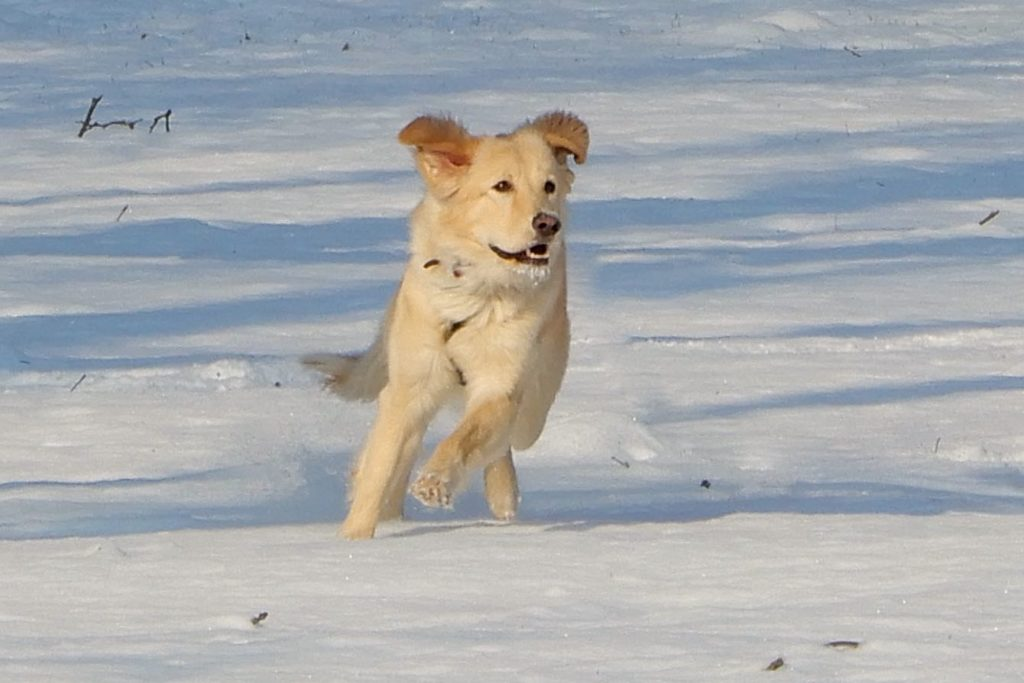 Winter in Hannover. Golden Retriever in hannoverscher Schneelandschaft.