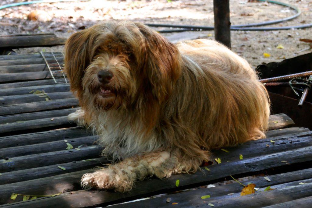 Hund im Homestay Tung Dap.
