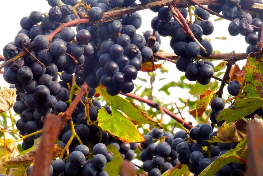 Douro-Tal im Herbst: Die letzten Trauben