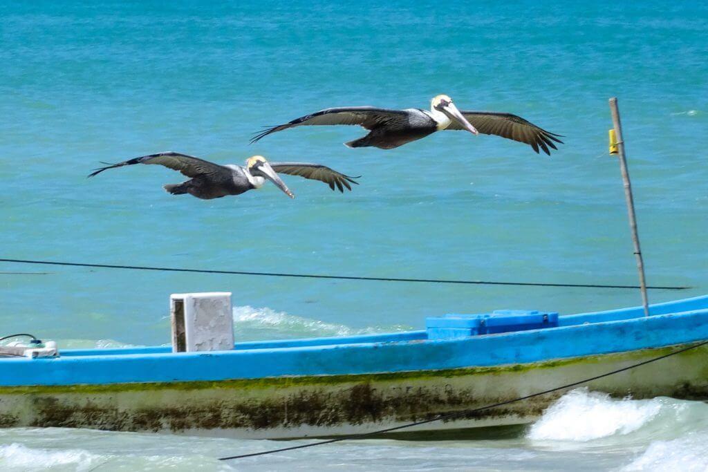 Las Coloradas Yucatán, Pelikane