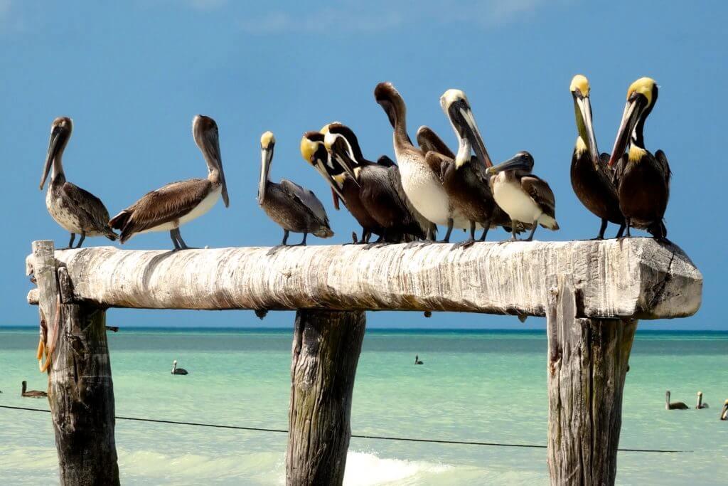 Pelikane in Las Coloradas, Yucatán