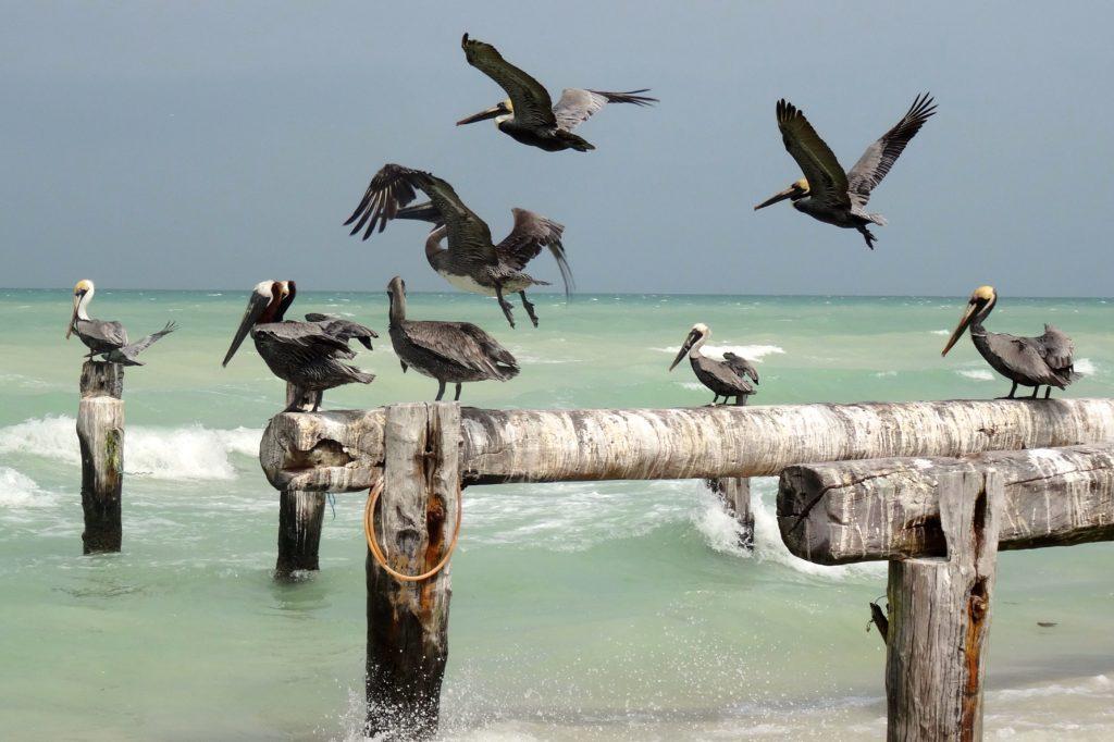 Pelikane an der Küste von Las Coloradas, Mexiko.