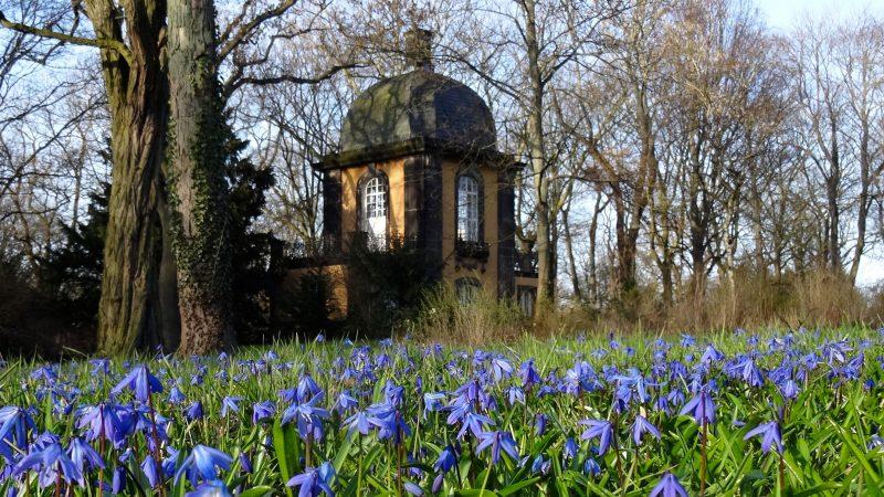 Blaues Wunder, Scilla-Blüte Lindener Berg, Hannover.