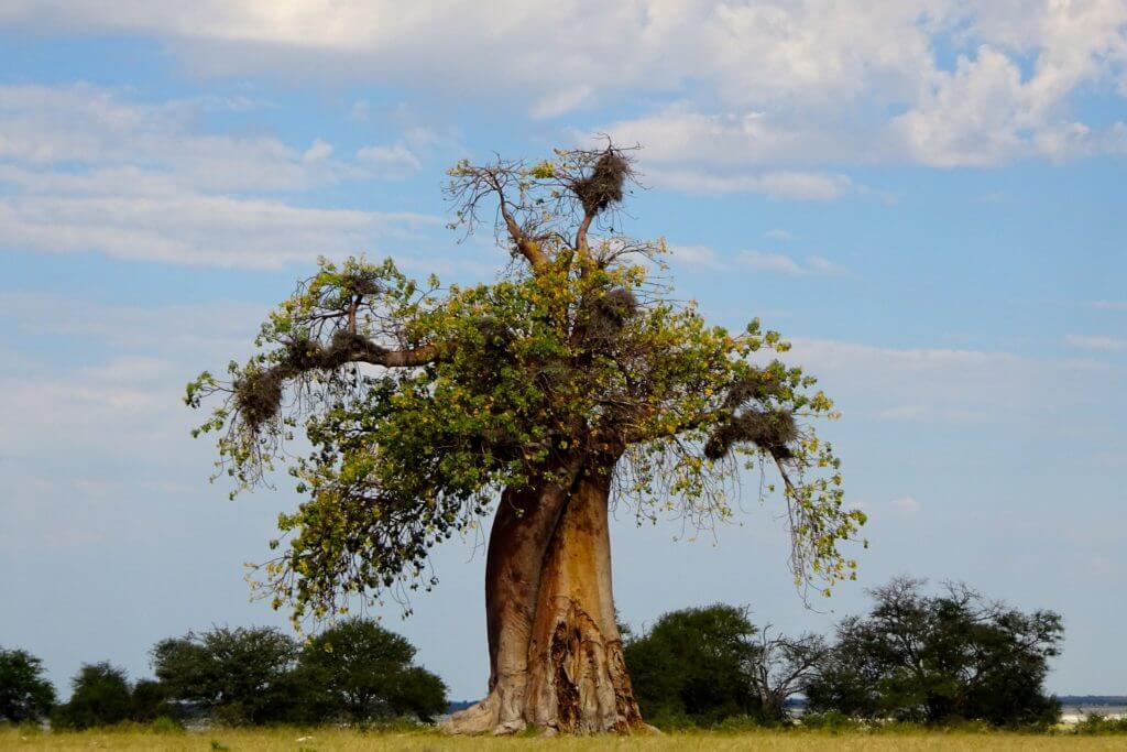 Baobab auf dem Weg nach Kubu Island