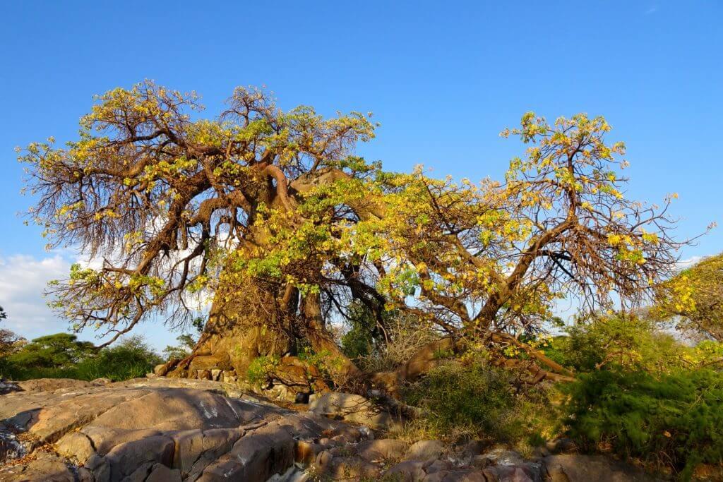 Baobab in Kubu Island nach Sonnenaufgang