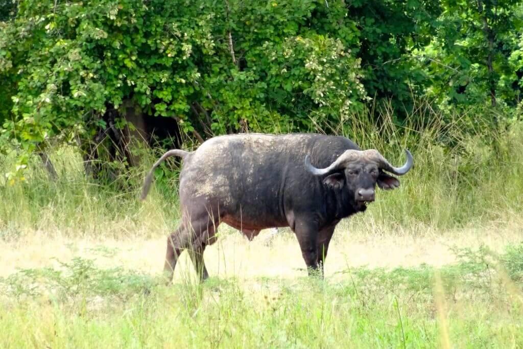 Sambia Reisetipps: Wasserbüffel im South Luangwa Nationalpark