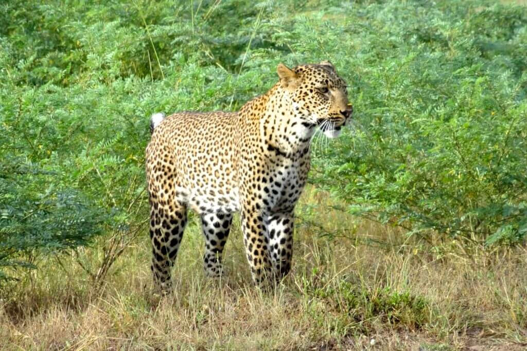 Sambia Reisetipps: Leopard im South Luangwa Nationalpark