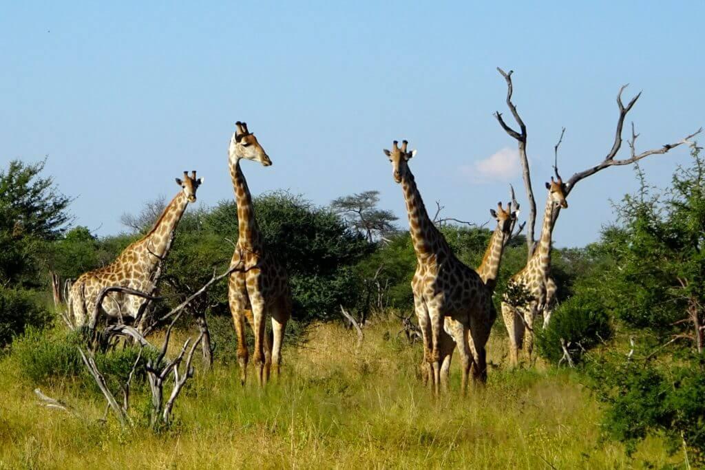 Giraffen in Botswana
