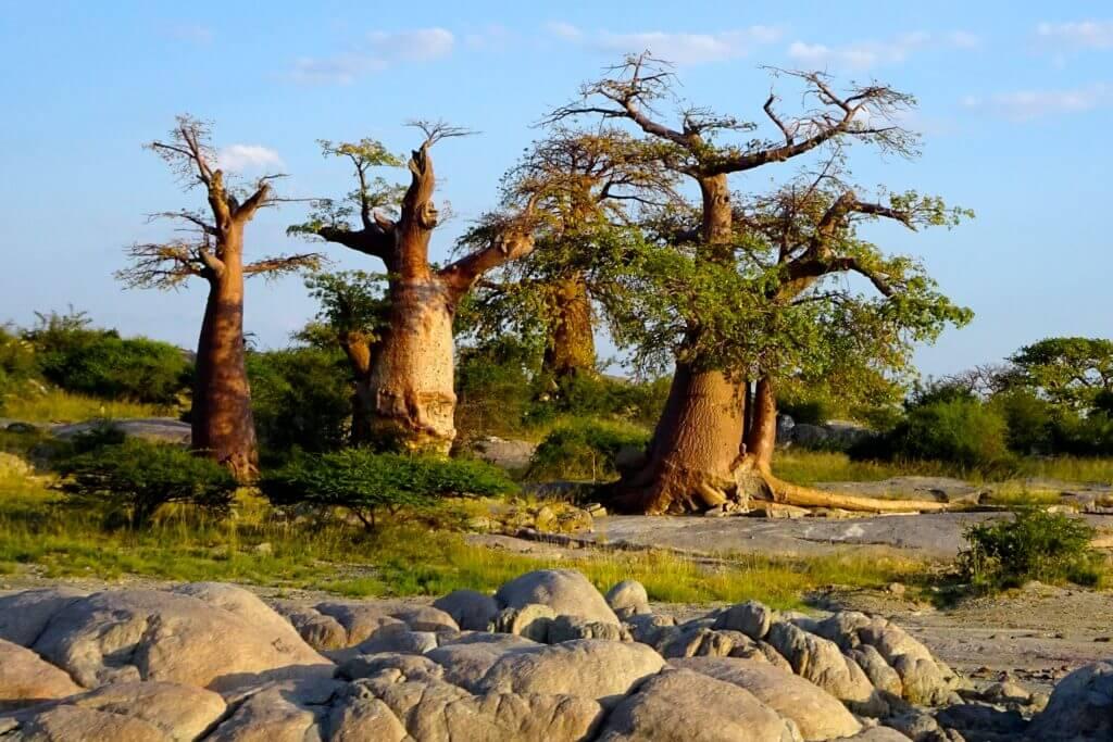 Baobabs in Kubu Island