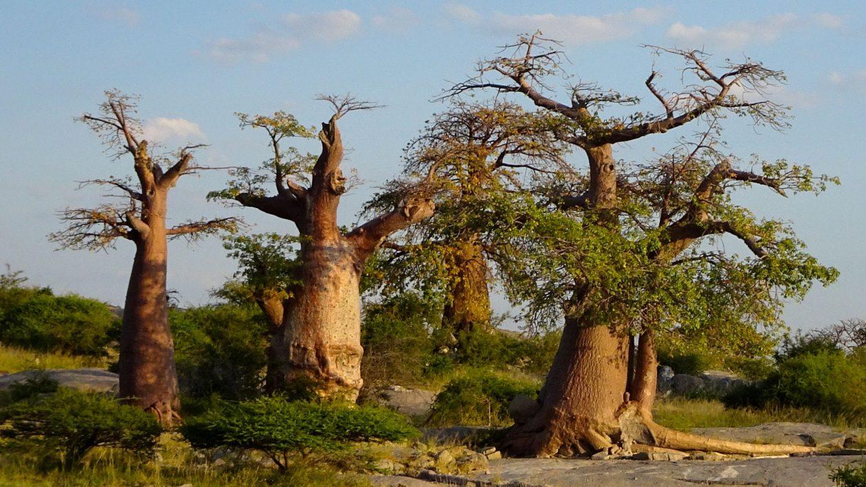 Baobabs in Kubu Island, Botswana.