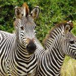 Sambia. Zebras im South Luangwa Nationalpark.