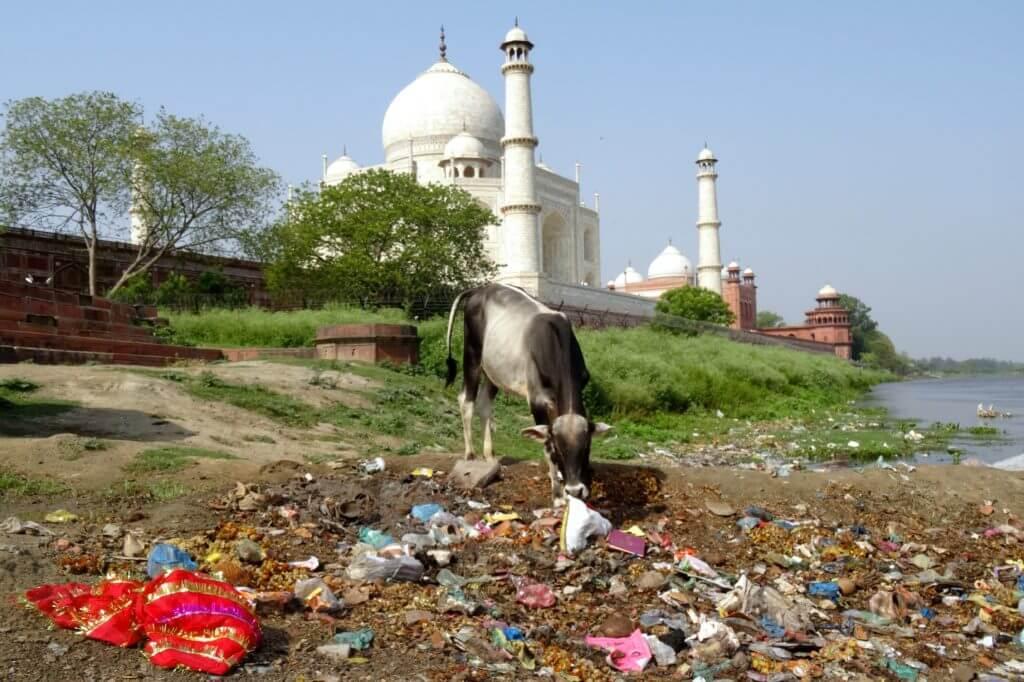 Indische Klischees: im Müll wühlende Kuh und im Hintergrund der Taj Mahal