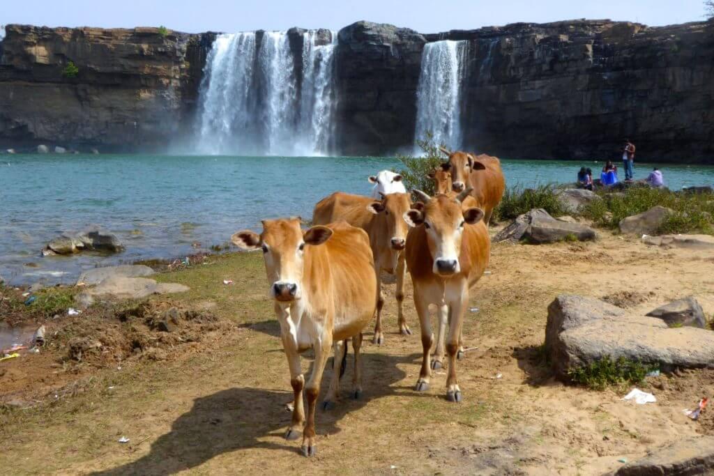Heilige indische Kühe am Chitrakot-Wasserfall