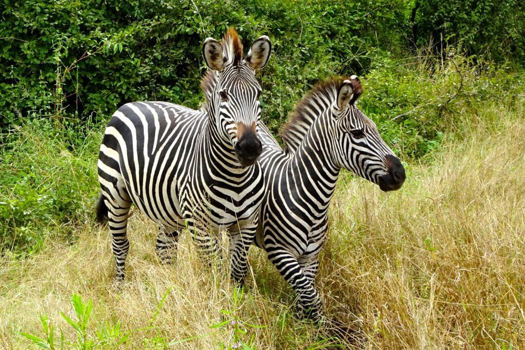Jahresrück Reiseblog Groovy Planet, Zebras im South Luangwa Nationalpark von Sambia