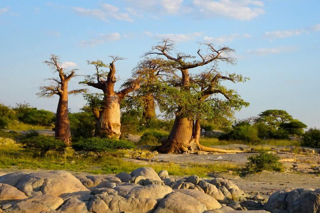 Jahresrückblick Reiseblog Groovy Planet, Baobabs in Kuba Island, Botswana