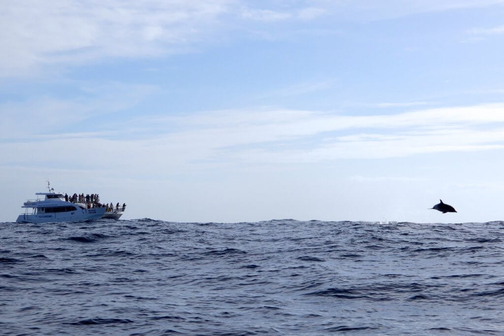 Whale Watching auf den Azoren, hier ein Boot und ein aus dem Wasser springender Delfin.