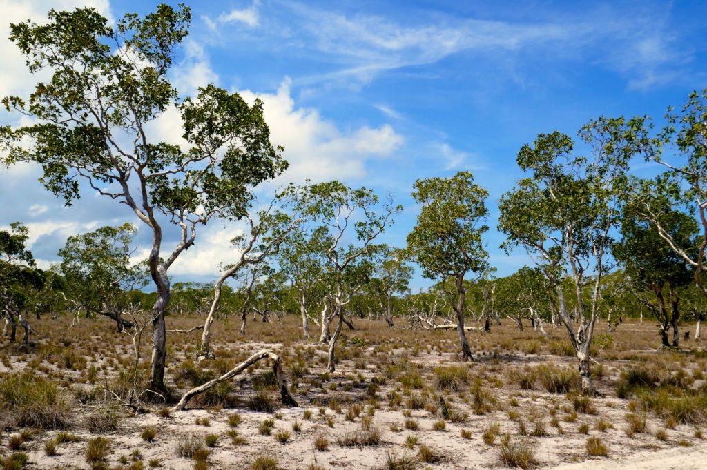 Koh Phra Thong. Savanne mit Paper Bark Trees (Myrtenheide).