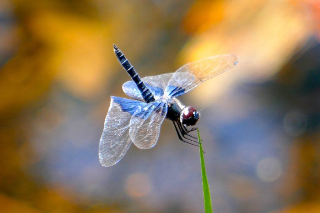 Libelle in der Savanne von Koh Phra Thong.