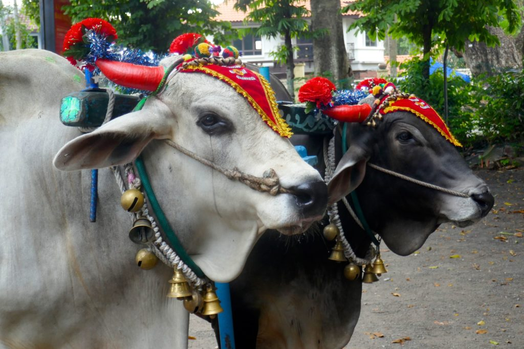 Ochsen beim indischen Erntedankfest Pongal in George Town, Malaysia.