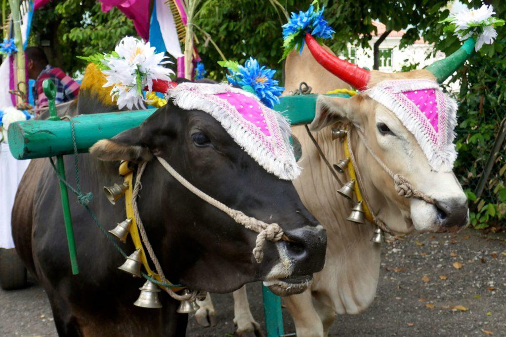 Festlich geschmückte Ochsen beim indischen Erntedankfest Pongal in George Town, Malaysia.