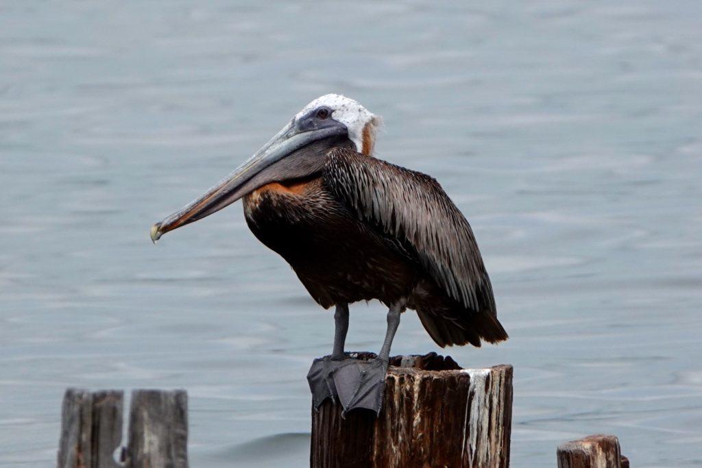 Pelikan vor Santiago de Cuba.
