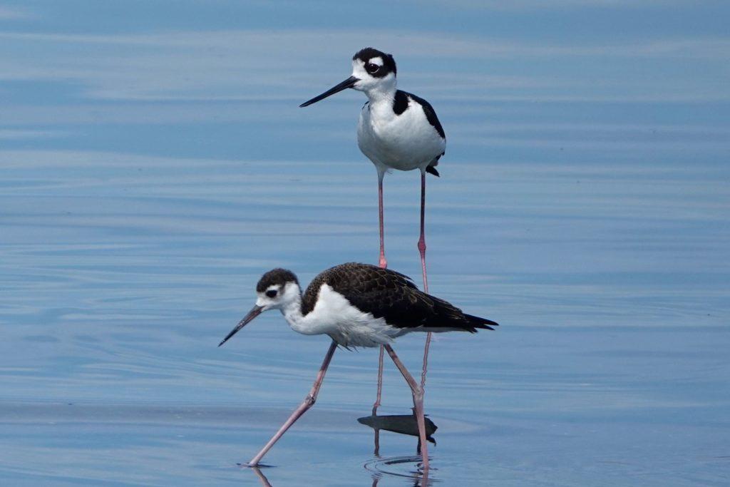 Wasservögel (Amerikanische Stelzenläufer) an der Küste vor Santiago de Cuba.