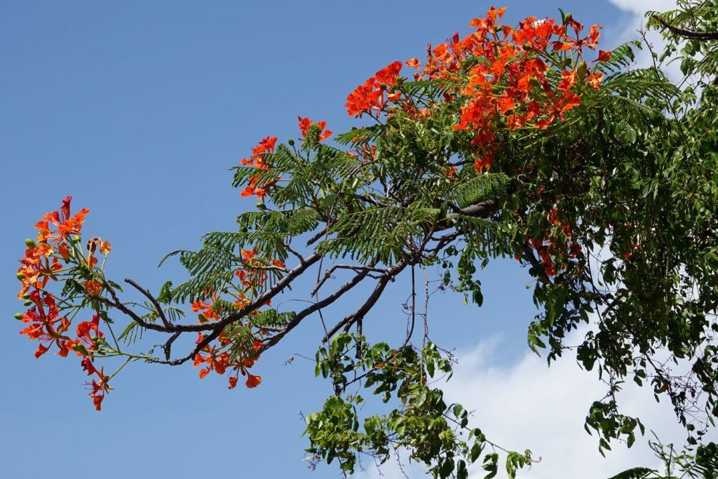 Cayo Granma: Bunte Blüten auf der Insel.