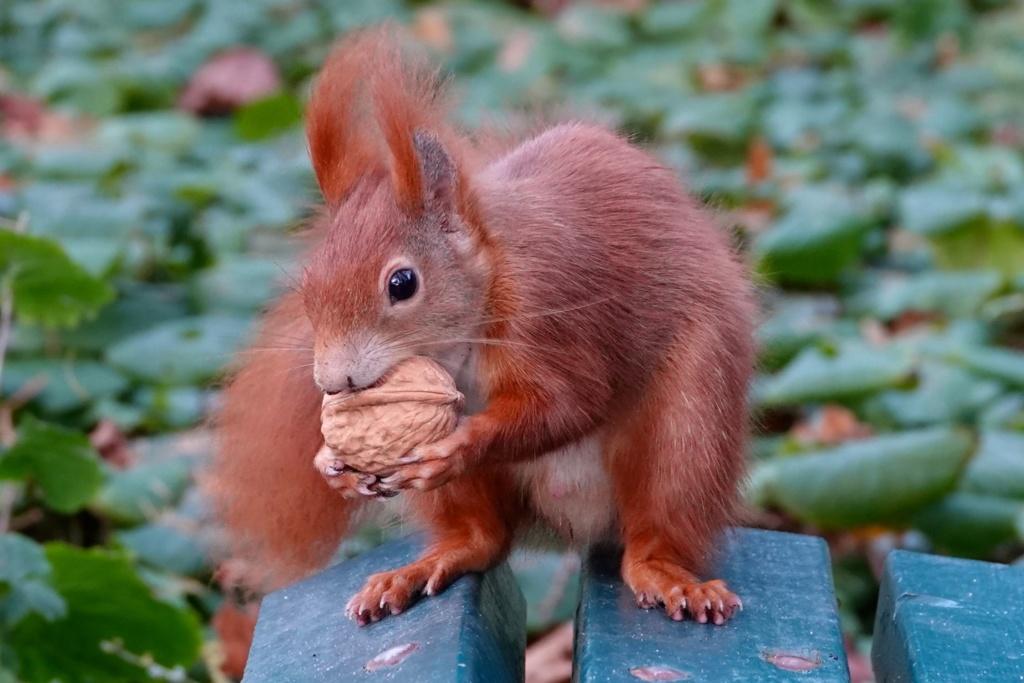 Eichhörnchen im Berggarten, Hannover.