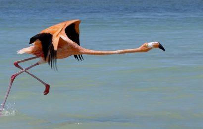 Flamingo im mexikanischen Río Lagartos.