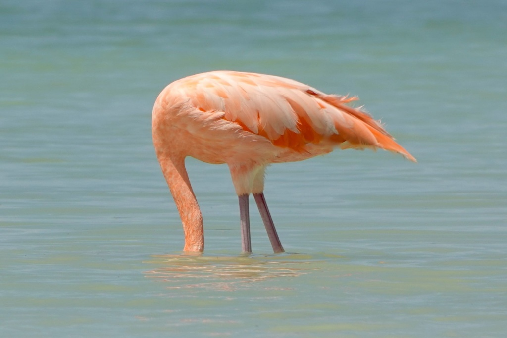 Río Lagartos: Flamingo steckt den Kopf ins Wasser.