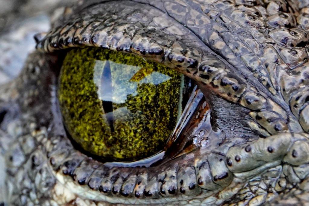Auge in Auge mit dem Krokodil in Las Coloradas.