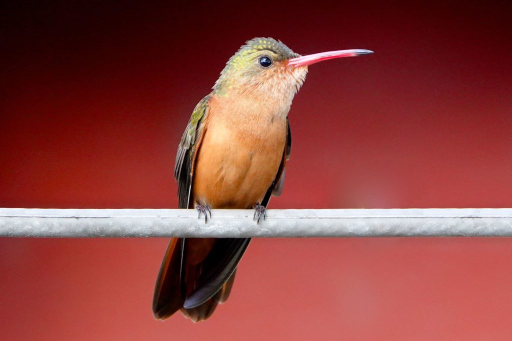 Kolibri in Río Lagartos, Yucatán.
